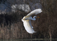 Great White Egret (Shapwick)