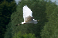 Adult Great White  Egret in flight