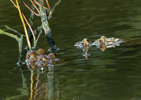 Mating Frogs (Brokerswood)