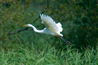 2013 Great White Egrets Nest Ham Wall RSPB