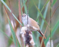 Bearded Reedlings (tits)